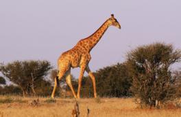 خطر انقراض در کمین زرافهها