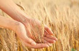 پیش بینی خرید ۲هزار تن گندم از گندمکاران گیلانی