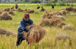 لغو ممنوعیت واردات برنج درفصل برداشت کشاورزرادل شکسته می کند/ اقتصادگیلان باتولیددونیم میلیون تن انواع محصولات کشاورزی به کشاورزان متکی است