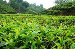 ۵۲درصد برگ سبز چای کشور درجه یک است