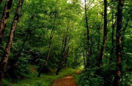 ذخیره گاه ژنتیک سپیداران گیلان در فهرست آثار طبیعی ملی ثبت شد