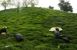 تعاون روستایی گیلان ۶۳ میلیارد ریال برگ سبز چای خرید تضمینی کرد