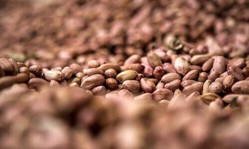 خبر خوش جهاد کشاورزی به بادام کاران گیلانی/ معرفی ارقام جدید بادام در سال آینده