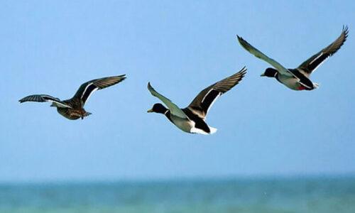 ورود پرندگان مهاجر به تالاب استیل آستارا کاهش یافت