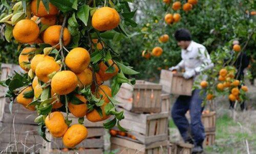 نارنگی های نوبرانه گیلان در بازار / آغاز برداشت مرکبات