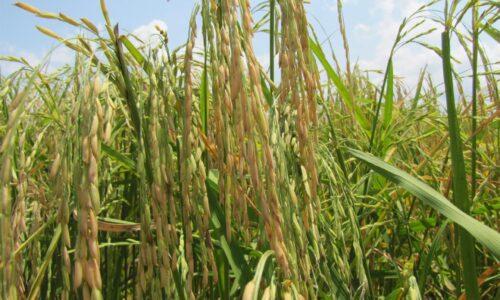 معرفی رسمی ۲ رقم جدید برنج