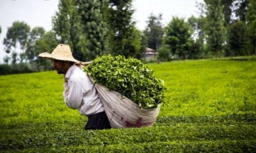 رئیس سازمان چای کشور خبر داد: واریز ۱۲ میلیارد تومان از مطالبات چایکاران شمال کشور