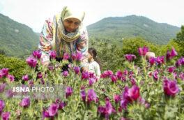 افزایش گرایش عشایر گیلان به تولید گیاهان دارویی