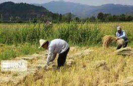 شالیکاران گیلان نسبت به برداشت محصول اقدام کنند