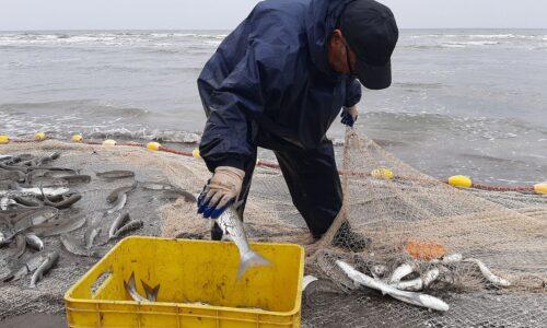 ۷۴۰ تن ماهی استخوانی در سواحل گیلان صید شد