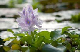 معاون فنی محیط زیست گیلان عنوان کرد؛ ۶۰۰۰ هکتار از تالابهای گیلان در محاصره گیاهان مهاجم