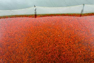 پرورش ماهی قرمز در رشت