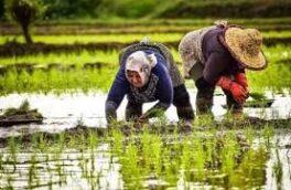 تاکید بر رعایت تقویم زراعی توسط شالیکاران گیلان