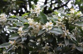 برداشت شکوفه های بهار نارنج از باغ های گیلان آغاز شد