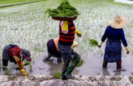 کشت کیان در برخی شالیزارهای دارای بحران آب گیلان