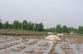 استفاده از آب باران برای خزانه گیری برنج در گیلان