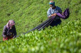 قمیت خرید تضمینی برگ سبز چای ۴۵ درصد افزایش یافت