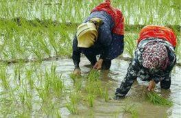 رشد ۴ درصدی نشاء برنج در شالیزارهای گیلان