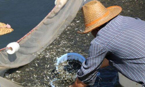 بالغ بر ۱۶۰ میلیون بچه ماهی در خزر رهاسازی می شود