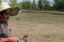 تشنگی شالیزارها در پر باران ترین استان کشور